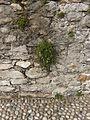 Cymbalaria.muralis.3629.JPG