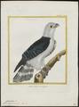 Cymindis cayennensis - 1700-1880 - Print - Iconographia Zoologica - Special Collections University of Amsterdam - UBA01 IZ18200358.tif