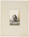 Cynocephalus porcarius - 1798-1803 - Print - Iconographia Zoologica - Special Collections University of Amsterdam - UBA01 IZ20100059.tif