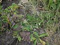 Cynoglossum ¿ species ? (6362233265).jpg