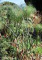 Cyperus papirus Orto botanico di Palermo 0007.JPG
