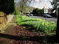 Daffodils (2294069366).jpg