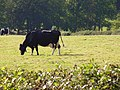 Dairy Farming, Holton Farm - geograph.org.uk - 227525.jpg