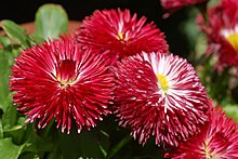 Daisy Bellis perennis 'Habanero Red' Flowers 3000px.jpg