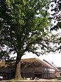 Damníkov - památný dub u kostela.JPG