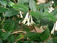 Damnacanthus indicus subsp major3