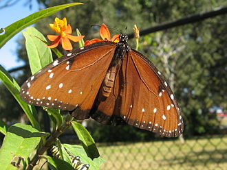 Queen (butterfly) - Adult feeding on milkweed plant