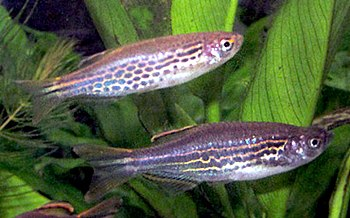 English: Both colour morphs of Danio kyathit, ...