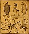 De quibusdam animalibus marinis, eorumque proprietatibus, orbi litterario vel nondum vel minus notis, liber - cum nonnullis tabulis aeri incisis, ab auctore super vivis animalibus delineatis (1761) (20833849466).jpg