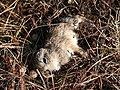 Dead Mountain Hare leveret, Margery Hill - geograph.org.uk - 385117.jpg