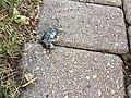 Dead mouse disintegrating.jpg