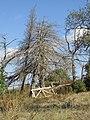 Dead trees, Caliços, Albufeira, 14 October 2016.JPG