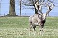 Deer - Woburn Abbey April 2010 (4521195842).jpg