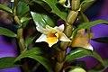 Dendrobium Frosty Dawn 4zz.jpg