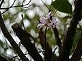 Dendrobium barbatulum 116362481.jpg