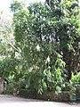 Dendrocalamus asper (Serres de la Madone).jpg