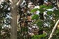 Dendropanax trifidus s4.jpg