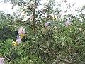 Dichrostachys cinerea-3-mundanthurai-tirunelveli-India.jpg