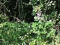 Dictamnus albus sl37.jpg