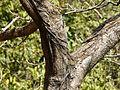 Diddi Mara (Kannada- ದಿಡ್ಡಿ ಮರ) (3206525021).jpg