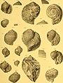 Die fossilien von Java auf grund einer sammlung von Dr. R.D.M. Verbeek und von anderen; (1891) (20917075365).jpg