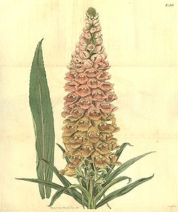 Digitalis ferruginea.jpg