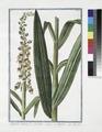 Digitalis latifolia, flore ferrugineo - Digitella - Digitale. (Foxglove) (NYPL b14444147-1125116).tiff
