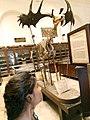 Dinosaurs artifacts of Indian Museum.jpg