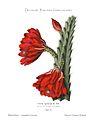 Disocactus speciosus (Cereus speciosus) 1.27.jpg