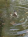 Diving duck (8924149952).jpg