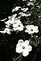 Dogwood Blooms III (3629968107).jpg