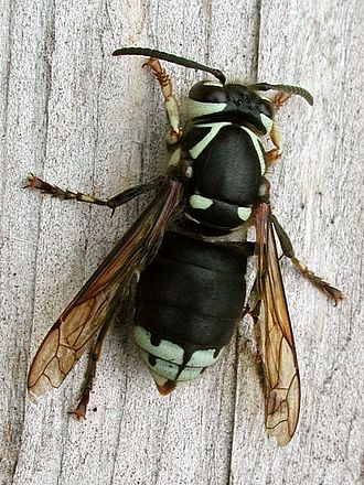 Dolichovespula - Dolichovespula maculata