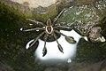 Dolomedes raptor (41752073820).jpg