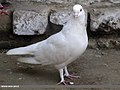 Domestic Pigeon (Columba livia domestica) (15893520115).jpg