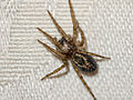 Domestic house spider (9680284979).jpg