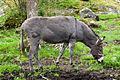 Donkey (15003005020).jpg