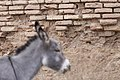 Donkeys of Iran 04.jpg