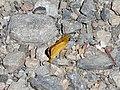 Dorada oscura (Thymelicus acteon) - 03.jpg
