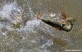 Dorado en el rio parana.jpg