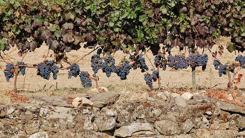 Rota dos Vinhos de Cister em Portugal