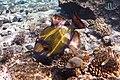 Drückerfisch.Giant Titan Triggerfish.DSCF6705ОВ.jpg