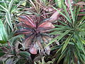 Dracaena broad leaved from lalbagh 2207.JPG