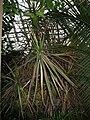 Dracaena marginata 'Tricolor' 02.jpg