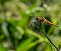 Dragon Fly (66075007).jpeg