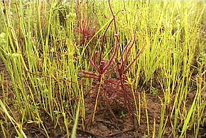 Description de l'image Drosera hartmeyerorum Standort1.jpg.