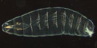 <i>Drosophila</i> embryogenesis Embryogenesis of the fruit fly Drosophila, a popular model system