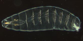 Drosophila embryogenesis - Ventral view of repeating denticle bands on the cuticle of a 22-hour-old embryo. The head is on the left.