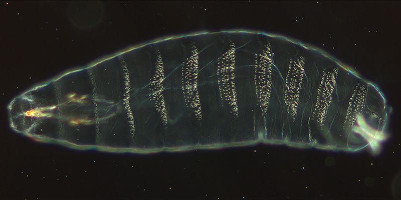 File:DrosophilaKutikula.jpg