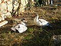 Ducks on a farm in Tarn, France, 29 September 2012.jpg