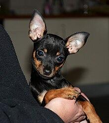 Min Pin Dog For Sale Muskegon